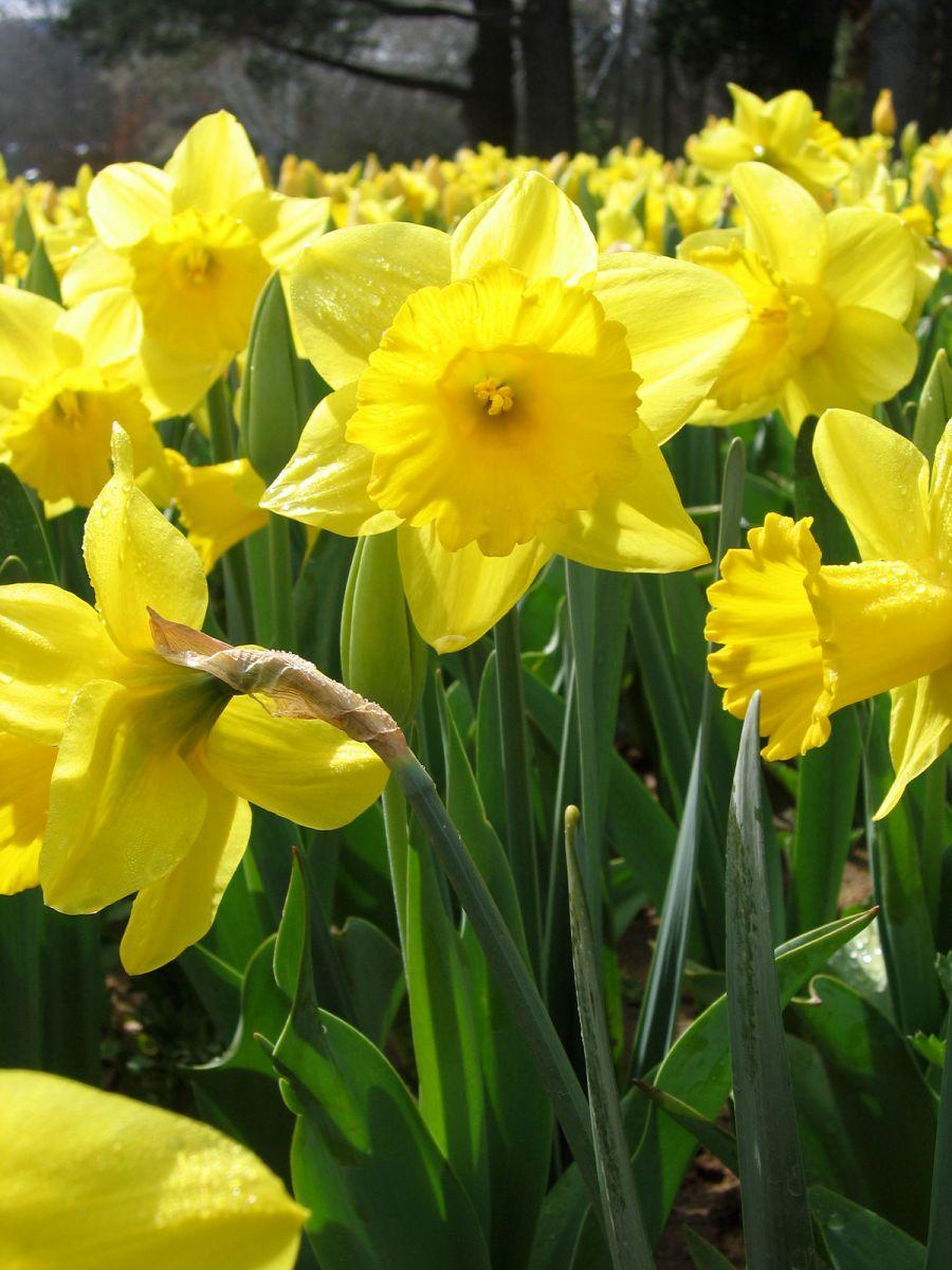 daffodil - photo #13